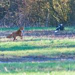 Fox @ Hendre Lake