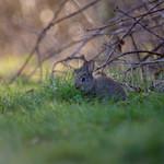 Wild Rabbit in Machen