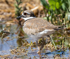 2018 Valle de Oro Photo Contest, 3rd Place in Wildlife Category (U.S. Fish & Wildlife Service Southwest Region) Tags: killdeer bird valledeoronationalwildliferefuge urbanrefuge photocontest 2018 southwestregion usfishandwildlifeservice