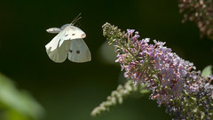 (2/3) Butterfly in flight (Franck Zumella) Tags: butterfly fly flying papillon blanc voler flower detail macro nature fleur colors animal insect wildlife details fast couleur insecte rapide couleurscolor white