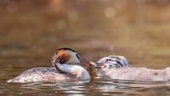 Grèbes huppés (Dakysto94) Tags: nature oiseau oiseaux bird birds grebe grebes poisson fish pêche nourrissage