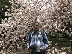 A selfie amidst lush pink sakura- well past their peak blooming time (shankar s.) Tags: eastasia japan landoftherisingsun nippon nihon shinjukugarden shinjukugyoen shinjukugyoennationalgarden publicpark publicgarden greenlung crowded touristspot chinesetourists walkingtrail sidewalk footpath treelined landscaping sakura cherryblossom cherryblossominbloom relaxing openground openfield openspace hanami cherryblossomviewing posing selfie prunusserrulata