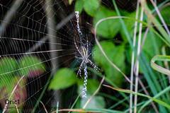 Argiope frelon (Oric1) Tags: breizh france eos oric1 araignée côtesdarmor nature web toile brittany 22 bretagne canon armorique hillion jeanlucmolle