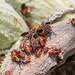 Lygaeus kalmii, Small Milkweed Bug, on Common Milkweed Follicles