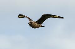 Hermaness National Nature Reserve (happygoluckycat) Tags: shetland scotland skua hermaness