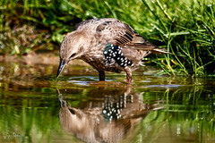 Common Starling drinking water (Jaap Mechielsen) Tags: hutthornspic spreeuw thenetherlands reflecties spreeuwen wildlife bird gelderland nederland fotohut fauna europe doornspijk animal birdhide commonstarling dier europa reflections star stare starling sturnidae sturnusvulgaris vogel