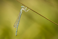 Damsefly (Sebo23) Tags: damsefly liebelle insekten naturaufnahme nature natur makro makrofotografie macro canoneosr canon10028l stacking bokelisious
