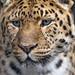 A nice Amur leopard portrait