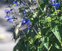 Anna Hummingbird Among the Flowers 4 of 4 (Orbmiser) Tags: nikonafpdx70300mmf4563gedvr d500 nikon oregon portland flowers bird hummingbird