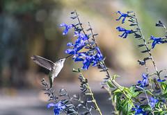 Anna Hummingbird Among the Flowers 2 of 4 (Orbmiser) Tags: oregon portland ed nikon 70300mm vr d500 afp dx f4563g nikonafpdx70300mmf4563gedvr flowers bird hummingbird