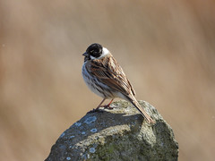 Reed Bunting (Male) Portrait (Pendlelives) Tags: reed bunting male black head south pennine moors rock perched pose portrait nature wildlife countryside bird birds ornithology pendle pendlelives nikon p1000 clarity vibrant vibrance colne nelson background animals colours colour color feathers uk british species