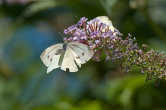 (3/3) Butterfly in flight (Franck Zumella) Tags: butterfly papillon whute blanc fly flying voler nature insect insecte flower fleur fast rapide colors couleurscolor couleur macro detail details animal wildlife white