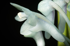 [Sabah, Borneo] Cleisocentron merrillianum (Ames) Christenson, Amer. Orchid Soc. Bull. 61: 246 (1992). (sunoochi) Tags: orchidlover flowers plants nature ラン anggrek orquideas 植物 blue ボルネオ島 merrillianum plantmorphology borneo cleisocentron メリリアナム サバ州 orchidspecies 蘭 orchid sabah green クレイソセントロン botany species orchids