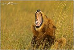 King of the Jungle! (Wild Pixels Safaris) Tags: kingofthejungle lion malelion pantheraleo lionking kinglion notchpride notchii animal mammal wildlife africanwildlife wildafrica wildanimal wildcats wildlifephotography safari gamedrive outdoors outofafrica nature naturephotography bigpussycat bigfive sunset goldenhour goldenlight blackmanedlion lionyawn masaimara maasaimaragamereserve kenya macswildpixels wildpixelsafaris munibachaudry coth alittlebeauty specanimal coth5 ngc npc