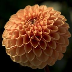Un bel orange **--- °-°-° (Titole) Tags: dalhia orange petal sphere flower titole nicolefaton squareformat thechallengefactory challengegamewinner friendlychallenges challengeyouwinner