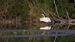 Grande aigrette (ardea alba) (pierre.pruvot2) Tags: chemindestêtards hautsdefrance leica lumixg9 maraisdeguînes panasonic eau water bird pond oiseau étang heron échassier