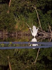 Grande aigrette (ardea alba) (pierre.pruvot2) Tags: chemindestêtards hautsdefrance leica lumixg9 maraisdeguînes panasonic heron échassier oiseau bird étang pond eau water