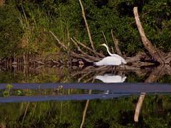 Grande aigrette (ardea alba) (pierre.pruvot2) Tags: chemindestêtards hautsdefrance leica lumixg9 maraisdeguînes panasonic heron pond étang eau water bird oiseau échassier
