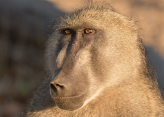 Chacma Baboon - Papio ursinus (Gary Faulkner's wildlife photography) Tags: chacmababoon papioursinus