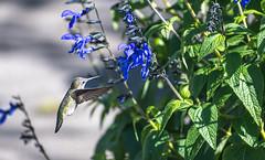 Anna Hummingbird Among the Flowers 3 of 4 (Orbmiser) Tags: oregon portland nikon 70300mm d500 afp dx f4563g nikonafpdx70300mmf4563gedvr flowers bird ed hummingbird vr