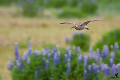 Whimbrel on the Wing (Osprey-Ian) Tags: whimbrel iceland