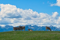 Life on the mountain meadows (pvorstadt) Tags: cows sky meadow grassland mountains nature lanscape outside tirol blue green animal