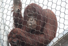 Judy (1tagtraeumer) Tags: orangutan ape great enclosure