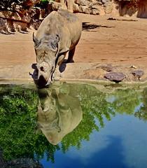 Thursty rhino (gerard eder) Tags: world travel reise viajes europa europe españa spain spanien valencia animals animales tiere tierpark zoo zoologico bioparc rhino reflections spiegelung wasser water natur nature naturaleza outdoor