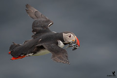 Flying Atlantic Puffin (Osprey-Ian) Tags: grimseyisland atlanticpuffin