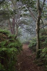 Into the Fog (vincocamm) Tags: trees woods mist misty fog ferns birch silverbirch track path cumbria edenvalley green brown orange white d5500 nikon