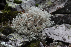 Cladonia cf rangiferina Arkhyz Aug 2018 (Aidehua2013) Tags: cladonia cladoniaceae lecanorales lichen arkhyz zelenchukskydistrict karachaycherkessrepublic caucasus russia