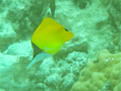 Forcipiger flavissimus (Forceps Fish, Long-nosed Butterfly Fish) (Arthur Chapman) Tags: forcipiger flavissimus forcipigerflavissimus longnosedbutterflyfish forcepsfish taxonomy:kingdom=animalia taxonomy:phylum=chordata taxonomy:class=actinopterygii taxonomy:order=perciformes taxonomy:family=chaetodontidae taxonomy:genus=forcipiger taxonomy:binomial=forcipigerflavissimus taxonomy:common=longnosedbutterflyfish taxonomy:common=forepsfish geoode:accuracy=100meters geocode:method=gps geo:country=solomonislands fatboysresort mbambangaisland solomonislands pacificislands fishspeciesgroup fish pacific melanesia