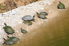 Turtle Assortment (Kaptured by Kala) Tags: trachemysscriptaelegans redearedslider waterturtle turtle aquaticturtle whiterocklake dallastexas muddy mud sliders reptile pseudemysconcinna rivercooter cooter moss algae aquatic softshellturtle softshell apalonespiniferassppallida pallidspinysoftshell belowme lowerspillway basking assortment