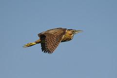 Bittern (robin elliott photography) Tags: bittern flight bird feathers wings outdoors outside nature wild wildlife nikon nikond850 nikon200500