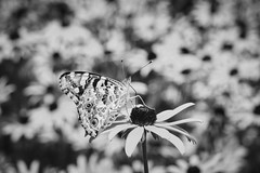 Painted Lady Underwing In Monochrome (Modkuse) Tags: bw art nature monochrome butterfly insect natural artistic fineart creature photoart fineartphotography paintedlady acros artisticphotography artphotography acrossimulation fujifilmxt2acrossimulation xt2acros blackandwhite macro blackeyedsusan flowergarden macrolens macrophotography 80mm macroinsects 80mmmacro fujinonxf80mmf28rlmoiswrmacro xf80mmf28rlmoiswrmacro xf80mmf28rlmoiswrmacrolens bokeh