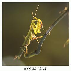 au couchant... (gimi.bene) Tags: mante insecte macroinsectes marais maraisdegoulaine vert mantereligieuse macro canoneos sigma105mm