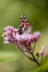 Painted Lady Butterfly (mpmark) Tags: macro nature butterfly bokeh naturephotography halton macroworld extremebokeh getoutthere 5dmkiv canon100400ii macromonday