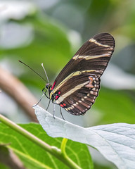 Zebra Longwing (wplynn) Tags: woodlandparkzoo butterfly butterflies exhibit zebra longwing heliconius charithonia underwing
