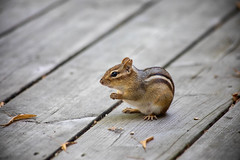 Having lunch with a friend (SusieMSB7) Tags: animals outdoors nature chipmunk