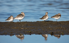 Snoozing Sandpipers (NicoleW0000) Tags: sandpiper sandpipers shorebird shorebirds bird birds wildlife migration sleeping water lake reflection ontario