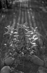 20 (mati.a) Tags: plants plantas luz chile 35mm film bw nikon fm2 nikonfm2 ilford ilfordphp5 hp5 analog light