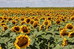 Iowa Field of Sunflowers (Jill Clardy) Tags: cruise mississippirivercruise 201908159l8a8015 harvestville sunflower farm patch iowa donnellson farming growing flower field explore explored