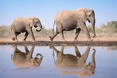 Follow the Leader (alicecahill) Tags: sonya7r3 mashatugamereserve elephant wildlife ©alicecahill mammal reflection wild africa botswana animal