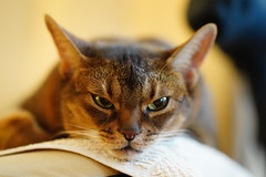 Conclusive (DizzieMizzieLizzie) Tags: abyssinian aby dizziemizzielizzie portrait cat feline gato gatto katt katze kot meow pisica neko gatos chat ilce pose classic golden bokeh dof 2019 lizzie sony a7iii ilce7m3 fe 135mm f18 gm tired girl conclusive thinking sel135f18gm