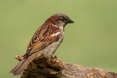 House sparrow male (Lynn Tweedie) Tags: wood bokeh beak tail wing canon ngc animal 7dmarkii feathers sigma150600mmf563dgoshsm tree bird green eos eye missouri branch