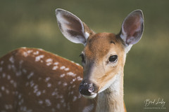 Whitetail Fawn (Brad Lackey) Tags: deer whitetail fawn spots face profile wildlife field woods outdoorsy sunset warmlight bokeh georgia nikon200500mm d7200