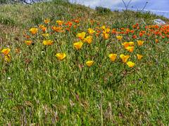 The Gathering (davidseibold) Tags: america california californiapoppy colororange jfflickr kerncounty nature photosbydavid plant postedonflickr rancheriaroad sky unitedstates usa wildflower bakersfield unitedstatesofamerica