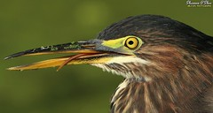 A slip of the tongue (Shannon Rose O'Shea) Tags: shannonroseoshea shannonosheawildlifephotography shannonoshea shannon greenheron heron bird beak feathers profile closeup close tongue yelloweye colorful colourful colors colours headshot wildwoodlake harrisburg pennsylvania dauphincounty nature wildlife waterfowl flickr wwwflickrcomphotosshannonroseoshea smugmug outdoors outdoor outside wild wildlifephotography wildlifephotographer art photo photography photograph camera femalephotographer girlphotographer womanphotographer shootlikeagirl shootwithacamera throughherlens canon canoneos80d canon80d canon100400mm14556lisiiusm eos80d eos 80d 80dbird canon80d100400mmusmii 2019 6421 canongirl justagirlwithacamera duckweed butoridesvirescens