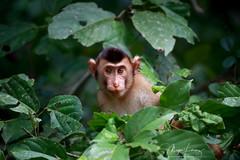 Monkey Business (Megan Lorenz) Tags: southernpigtailedmacaque macaque monkey primate beruk animal mammal nature wildlife wild wildanimals travel borneo malaysia kinabatanganriver sandakan sabah