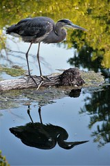 Reflection.... (catherine4077) Tags: heron park jimbarnettpark winchester virginia water reflection